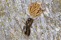 Harebell Carpenter Bee - Chelostoma campanularum - at sealed nest hole