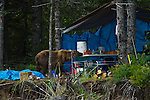 A brown bear invades a campsite looking for food.  This bear walks through an electric bear fence unfazed to enter the kitchen area of our camp in Lake Clark National Park, Alaska.  Photo by Gus Curtis.