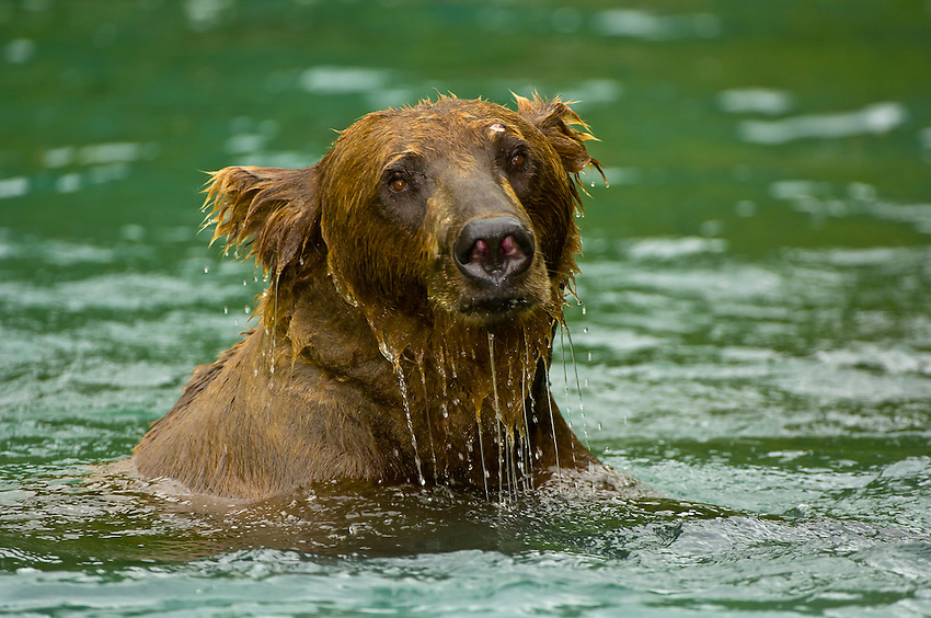 Sow female brown bear fishing for salmon near the for Fishing in big bear