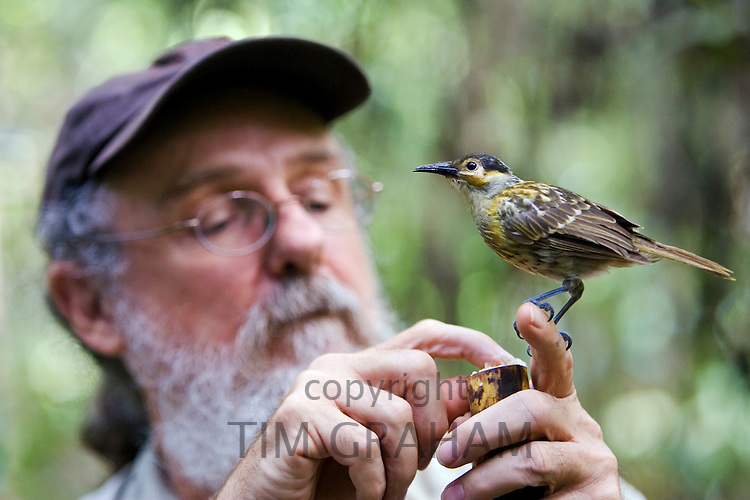 Daintree Naturalist, David Armbrust feeds Macleay's Honeyeater bird, Queensland, Australia
