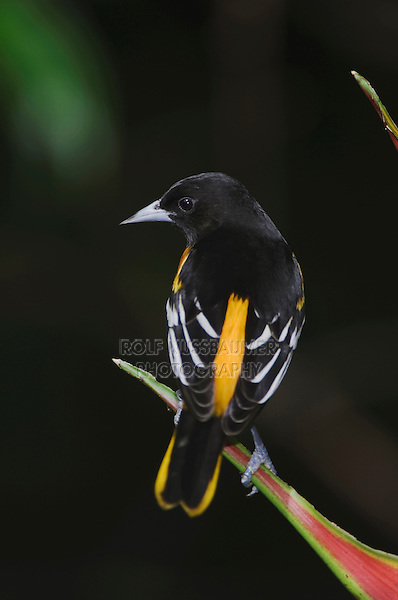 Baltimore Oriole, Icterus galbula, male perched on Heliconia, Central Valley, Costa Rica, Central America