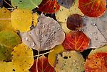 Fallen aspen leaves, Montana