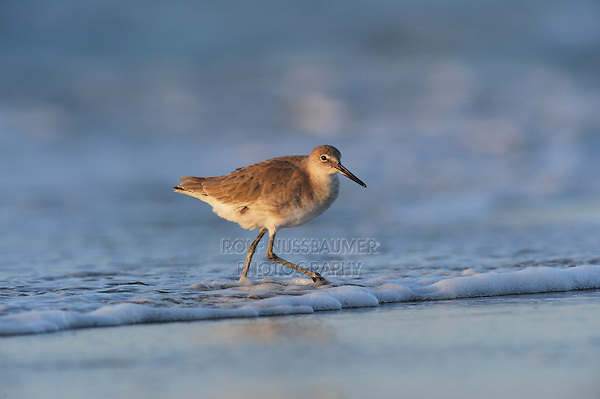 Willet (Catoptrophorus semipalmatus), adult, Port Aransas, Mustang Island, Texas Coast, USA