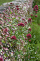 Erigeron karvinskianus and Red valerian (Centranthus ruber), Great Dixter, early June.