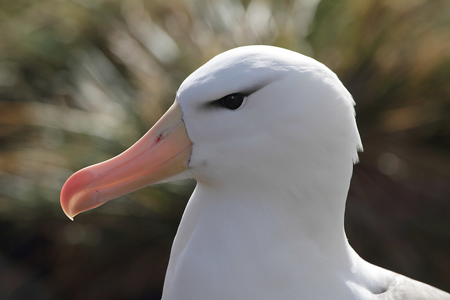 Portrait of a Black-browed Albatross. West Point Island. The Falkland Islands