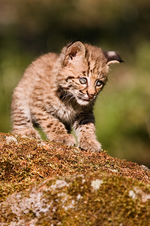 Baby Bobcat walking on top of a moss covered rock - CA