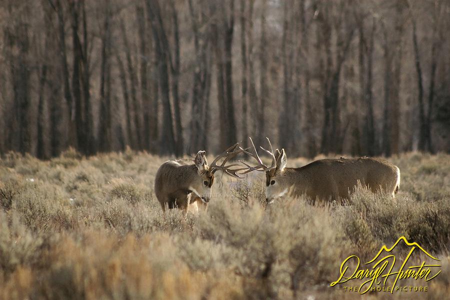 Fighting Mule Deer Bucks, Grand Teton National Park, Jackson Hole, Wyoming