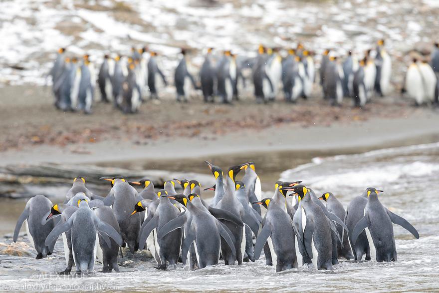King Penguin (Mirounga leonina) colony. St. Andrews Bay, South Georgia. November.