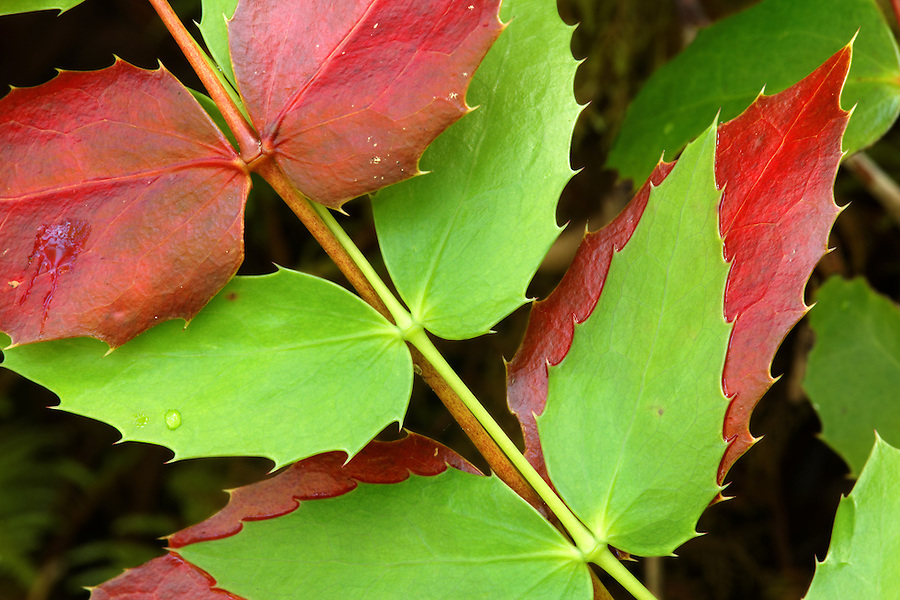 Red and green Oregon-grape leaves, Falls View Canyon Trail, Quilcene, Jefferson County, Washington, USA