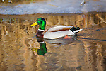 A Mallard drake in springtime with reflections in the water and ice along the shore. In western Montana