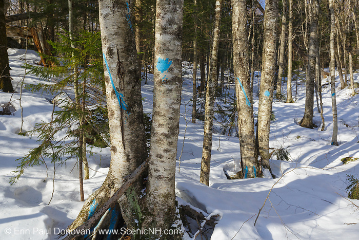 Unit 43 of the Kanc 7 Timber Harvest logging project along the Kancamagus Scenic Byway in the White Mountains of New Hampshire USA. The blue paint indicates the tree will be cut during the timber harvest