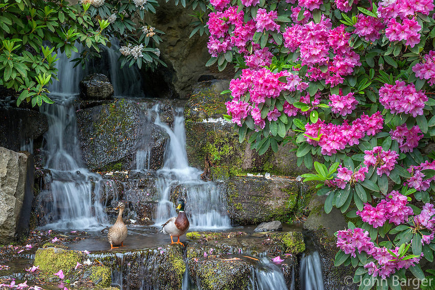 ORPTC_D105 - USA, Oregon, Portland, Crystal Springs Rhododendron Garden, Mallard ducks (male and female pair) on rocks next to waterfall and blooming rhododendron.