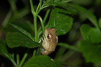 An adult Cuban treefrog actively hunting late at night for prey among the foliage in Fort Myers, Florida. These aggressive and voracious natives to Cuba, the Cayman Islands and the Bahamas are wreaking havoc among Florida's native species of treefrogs, and are outcompeting them in terms of resources and habitat.