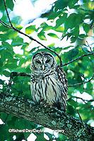 01130-00518 Barred Owl (Strix varia) Ferne Clyffe State Park  Johnson Co.  IL