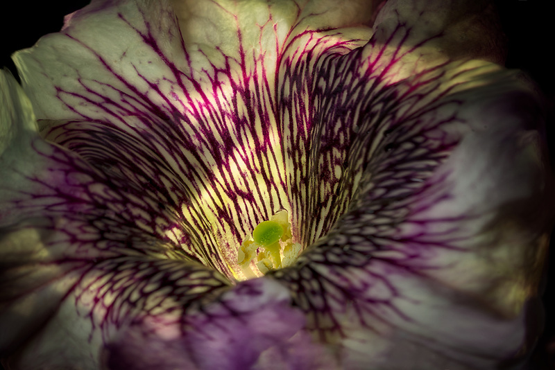 Close up of petunia flower.