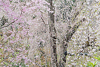 A cascade of pink blossom hangs from the weeping cherry tree in the 14th century Zen garden at Tenryu-ji Temple, Kyoto