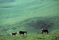 Europe/France/Auvergne/12/Aveyron : Aubrac - Cheval en pâturage