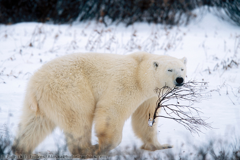 Male Polar bear plays with willow shrub, Hudson Bay, Churchill, Manitoba, CANADA