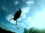 Common Loon, Gavia immer, state bird, Minnesota,<br /> Juvenile, baby,