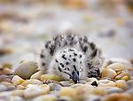 Gulls and Miscellaneous Shore Birds