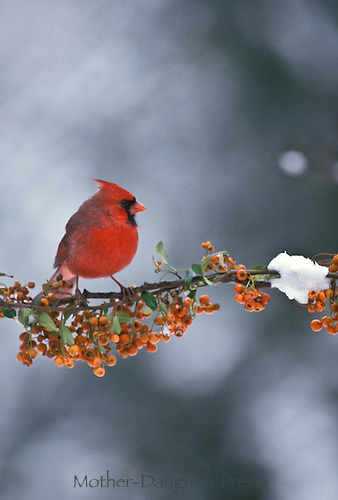 Male cardinal perched on branch of American bittersweet berries in winter with snow, midwest uSA