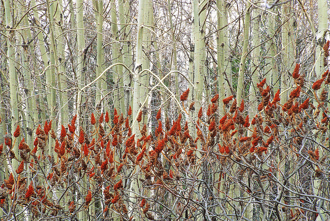A band of Sumac berries form a color and textural contrast with a forest of Aspen Trees