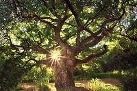 Monkey Pod tree. Polihale State Park, Kauai, Hawaii
