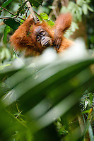 A child Sumatran orangutan (Pongo abelii) rests on a tree branch in Gunung Leuser National Park in Northern Sumatra.