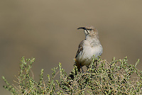 581970013 a wild lecontes thrasher toxostoma lecontei perches on a desert plant in kern county california united states