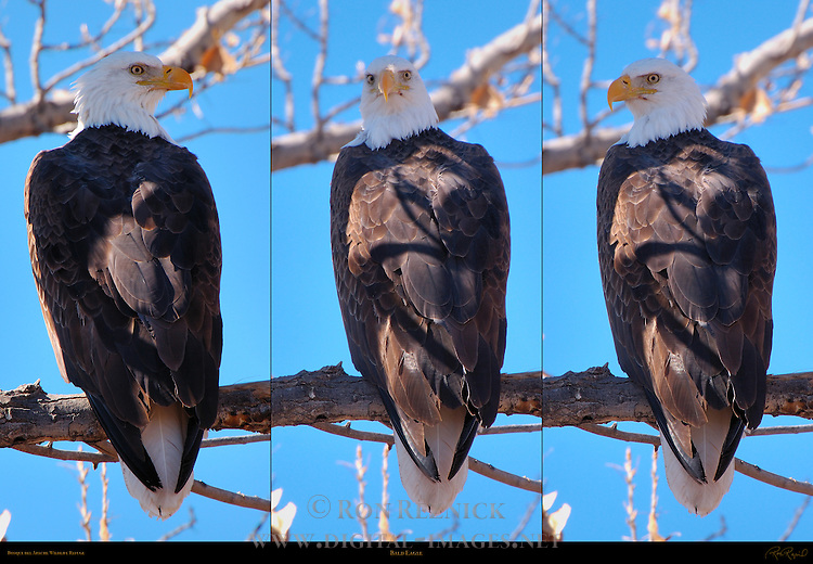 Bald Eagle, Close Portraits, Bosque del Apache Wildlife Refuge, New Mexico
