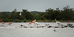 American White Pelicans, Pelecanus erythrorhynchos, American Flamingos, Laughing Gulls, Black Skimmers, Sandwich Terns, Royal Terns and a Ring-billed Gull at the Ria Lagartos Biosphere Reserve, a UNESCO World Biosphere Reserve in Yucatan, Mexico.
