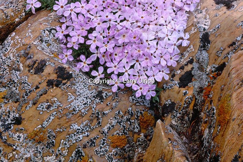 Alpine phlox near Snowy Range Pass<br /> Snowy Range<br /> Medicine Bow National Forest<br /> Albany County,  Wyoming