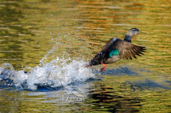American Black Duck..Autumn..Nova Scotia, Canada..Anas rubripes.