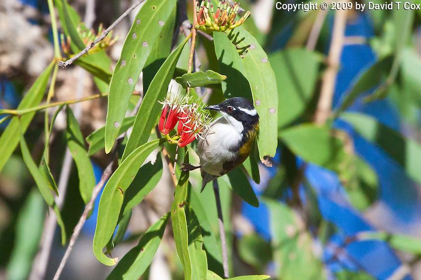 White-throated Honeyeater, Yellow Water, Kakadu NP, NT, Australia