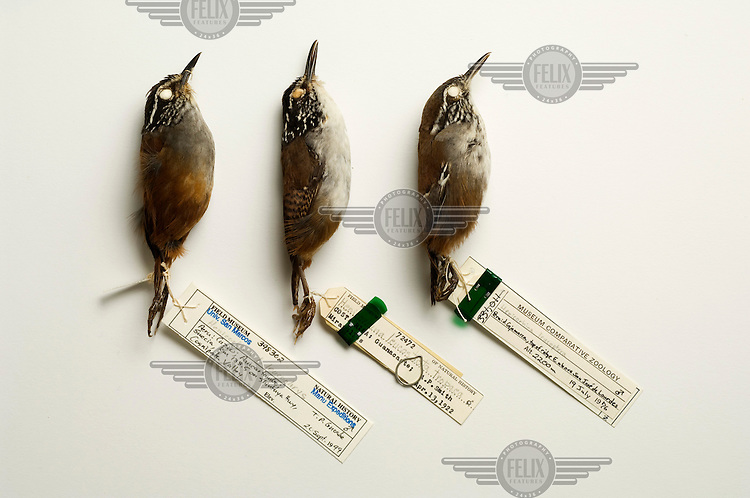 Left to right: Gray-breasted Wood-Wren(Henicorhina leucophrys), White-breasted Wood-Wren (H. leucosticta tropaea), Bar-winged wood-wren (Henicorhina leucoptera). Field Museum of Natural History, Chicago. Conservation status: near threatened. All three species occur in montane forests of Central and South America. ..  .As biologists describe new species and add to our understanding of the interrelated nature of life on Earth, a species becomes extinct every 20 minutes (100 to 1000 times the background extinction rate as seen in the fossil record). Collections in natural history museums play important roles in conservation, education and research. Most of that work and the associated specimens are not on public display in museums? typically, less than five percent of specimens are exhibited.
