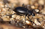 Common Black Ground Beetle, Pterostichus melanarius, Southern California
