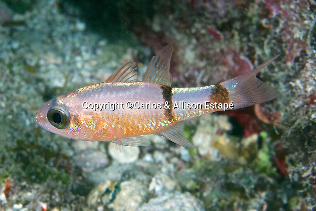 Apogon planifrons, Pale cardinalfish, Florida Keys