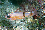 Apogon planifrons, Pale cardinalfish, Florida Keys