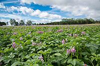 Maris Peer potatoes in flower - Norfolk, June