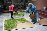 Longjing Village, Hangzhou, Zhejiang province, China  - Tea farmers dry Longjing green tea leaves, April 2018.