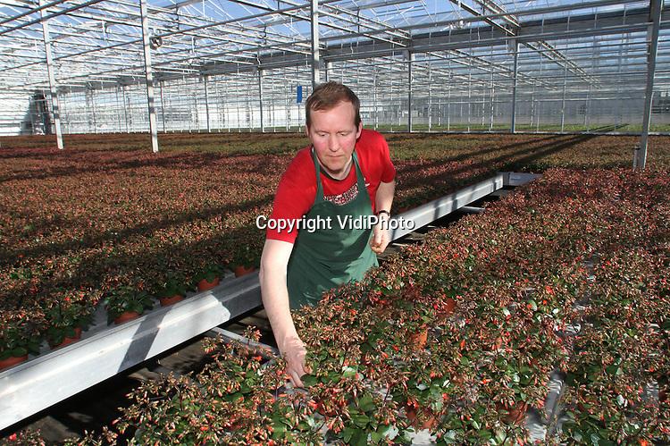 Foto: VidiPhoto..BEMMEL - De sociale werkvoorziening Presikhaaf Groen en Diensten in tuinbouwgebied Bergerden bij Bemmel is deze week begonnen met het uitleveren van de kalanchoe prebella, een voor Nederland bijzonder product. De sociale werkplaats is namelijk de enige in Nederland die deze 'hangklokjes' voor het terras levert. Over twee weken worden de eerste prebella's van het seizoen geëxporteerd. Vrijwel alle 350.000 plantjes zijn voor de Duitse markt..