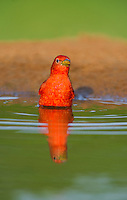 580980037 a wild male summer tanager piranga rubra bathes in a small pond on the laguna seca ranch in the rio grande valley of south texas
