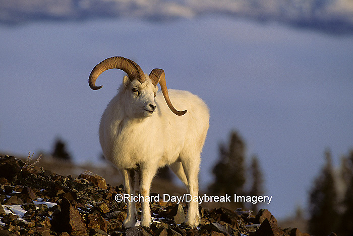 01989-00101 Dall sheep (Ovis dalli) ram Yukon   Canada