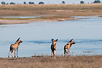 Three wild dogs (Lycon pictus) standing beside the Chobe River, Chobe National Park, Botswana.