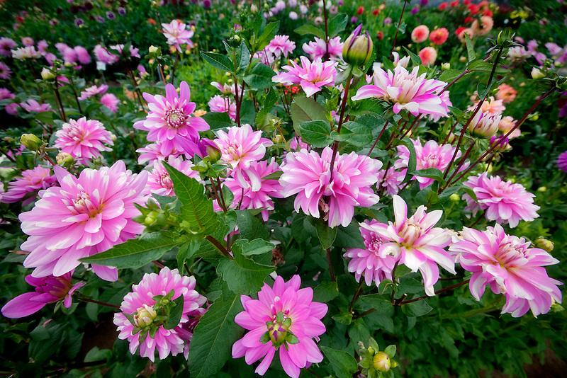 Pink Gingham Dahlia. Swan Island Dalia Farm. Canby, Oregon