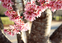 Stock photo - Close up of pink cherry blossoms with tree bark in background blurred.