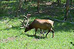 WY: Wyoming, Yellowstone National Park:.Elk.Photo #: yellow1271..Photo copyright Lee Foster, 510/549-2202, lee@fostertravel.com, www.fostertravel.com..