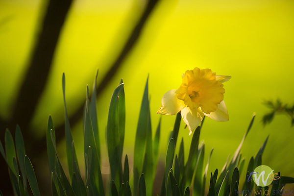 Single daffodil.