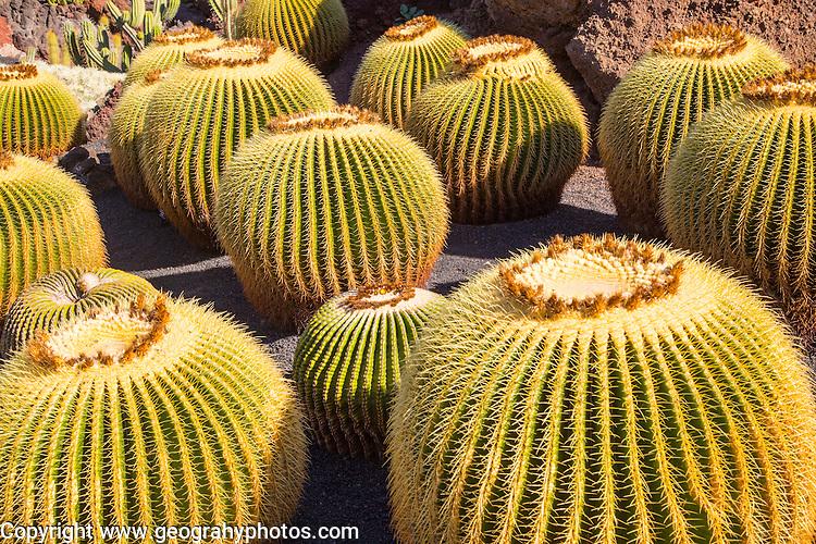 Cactus plants inside Jardin de Cactus designed by César Manrique, Guatiza. Lanzarote, Canary Islands, Spain. Cactaceae, Echinocactus grusonil, from San Luis de Potosi-Hidalgo, Mexico