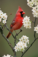 Male Northern Cardinal among pear blossoms